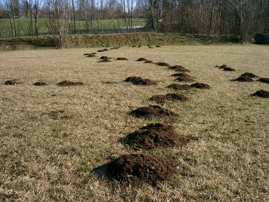 Le talpe si ripresentano in superficie a primavera come salvare